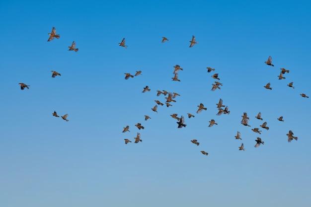 Stormo di passeri che volano nel cielo