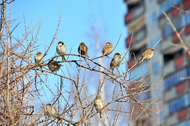 Passeri che si siedono nel cespuglio in winter park. tempo gelido. fauna urbana.