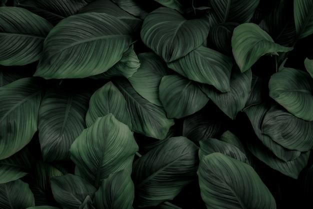 Spathiphyllum cannifolium foglie verde scuro texture sfondo natura fogliame tropicale asiatico