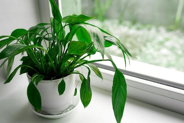 Un fiore di spathiphyllum con foglie verdi su un davanzale su uno sfondo di finestra, piante d'appartamento di purificazione dell'aria della pianta d'appartamento nel concetto di casa, pianta della casa, concetto di giardinaggio domestico.