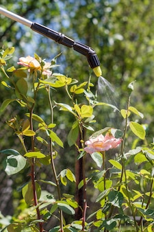 Sterilizzazione dei cespugli di rose. proteggere le piante di rose da malattie fungine o parassiti con uno spruzzatore a pressione in giardino