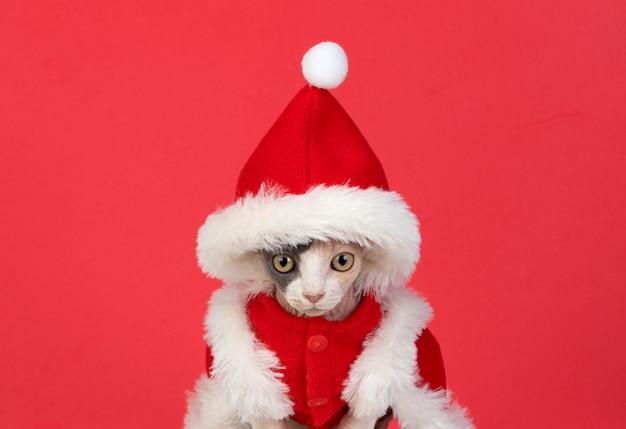 Gatto sfinge con vestiti di natale isolato su uno sfondo bianco