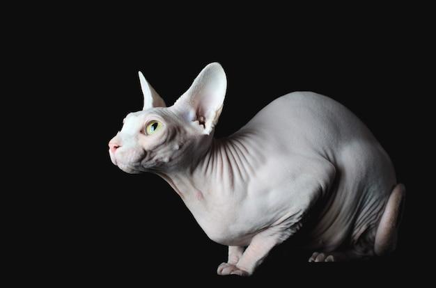 Gatto sphynx su sfondo nero, elegante, bello