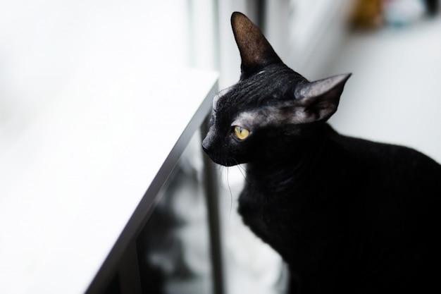 Sphynx cat funny standing sul davanzale della finestra