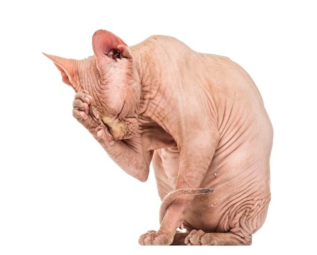 Toelettatura per gatti senza peli sphynx
