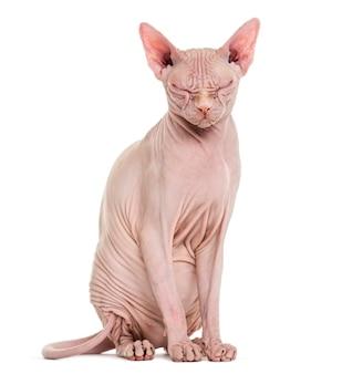 Gatto senza peli sphynx in posa isolata