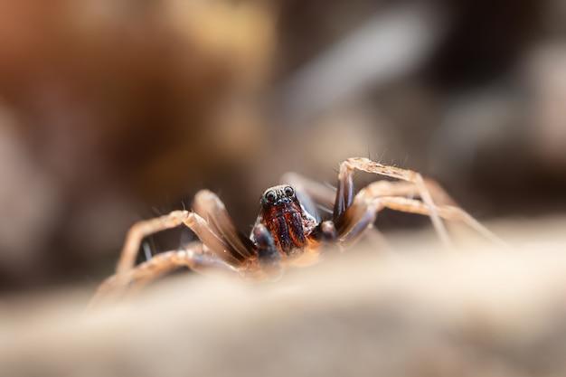 Primo piano del ragno, foto a macroistruzione. artropodi, insetti.