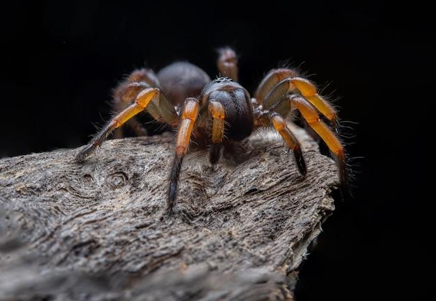 Spider tarantula brachypelma smithi su legno secco sfondo / messa a fuoco selezionata
