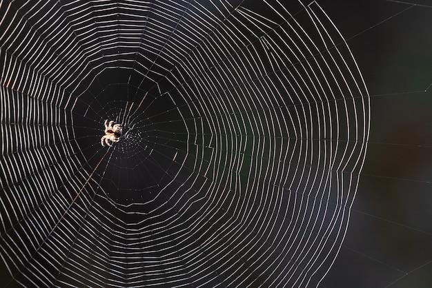 Ragnatela con ragno su sfondo nero sfocato. retroilluminazione del sole. tempo d'autunno nella natura