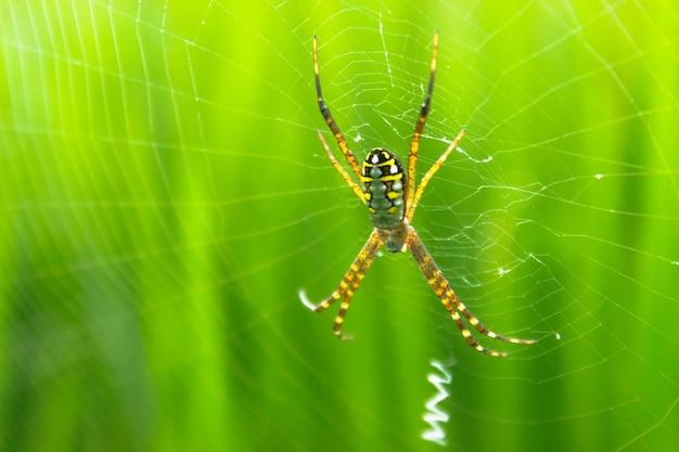 Il ragno con la sua ragnatela al mattino con la rugiada sulle risaie verdi