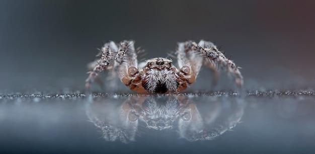 Lupo ragno in un habitat nativo