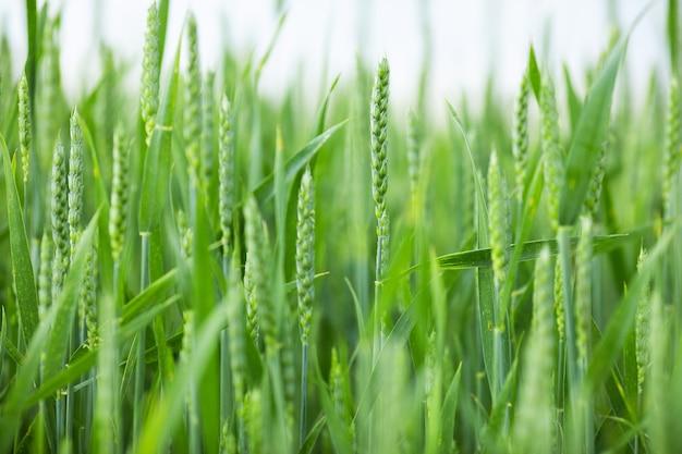 Spighette di grano verde fresco