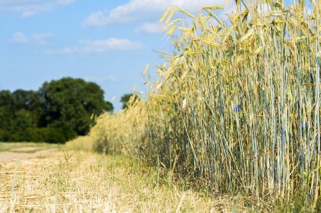 Spighette di grano contro il cielo