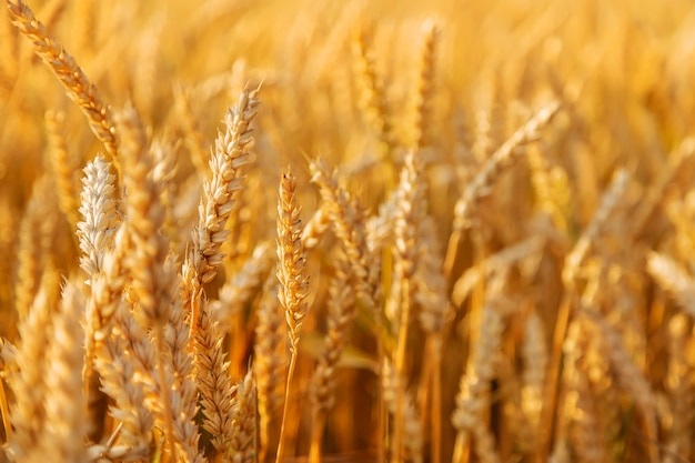 Spighette di grano su un campo di grano. messa a fuoco selettiva. natura.