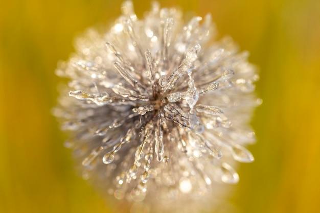 Spighe di pennisetum in brina e ghiaccio. sfondo di close-up