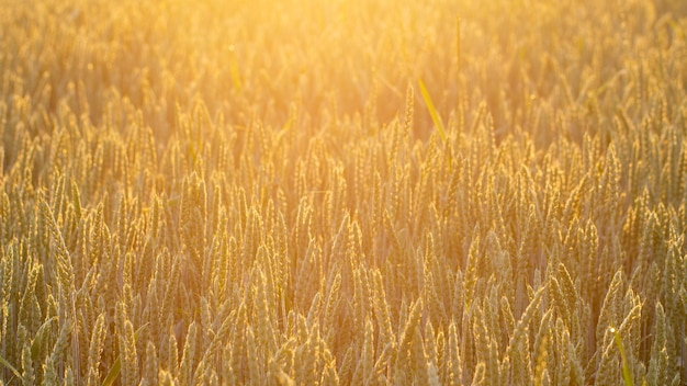 Spighe di grano di colore dorato, consistenza. avvicinamento