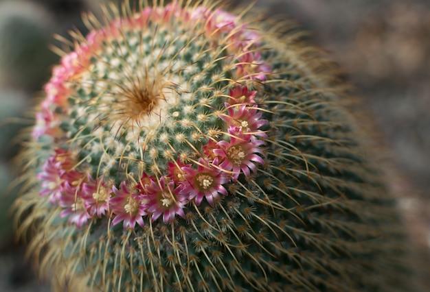 Cactus, cactacee o cactus appuntiti e soffici che sbocciano con fiori