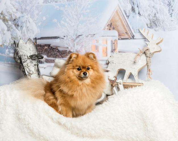 Cane spitz seduto sul tappeto di pelliccia nella scena invernale