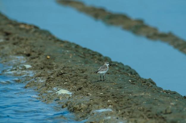 Sandpiper cucchiaio-fatturato (calidris pygmaea) in natura tailandia