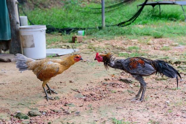 Combattimento popolare di combattimento del gamecock in tailandia