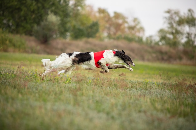Cane sportivo che si esibisce durante il corso di esca in competizione