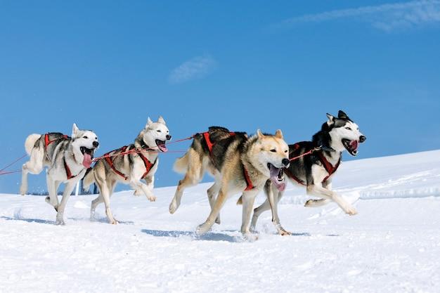 Cani sportivi nella neve, estremi, in montagna
