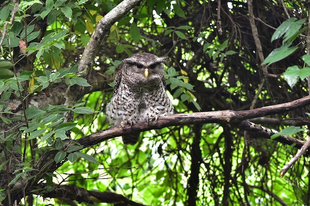 Spot-bellied eagle owl bird seduto sull'albero in natura, thailandia