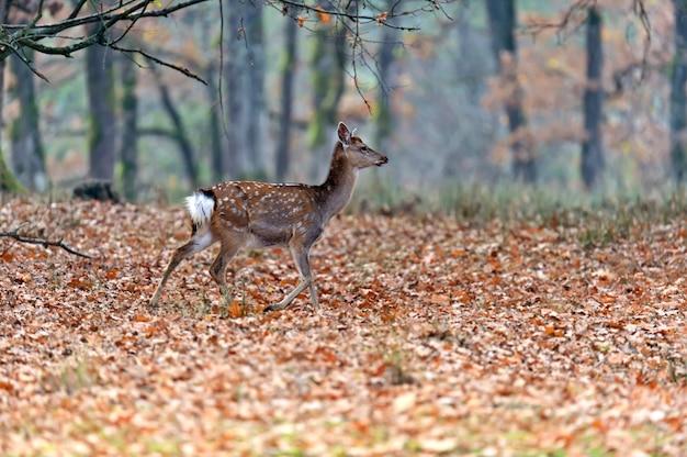 Cervi macchiati in autunno in natura