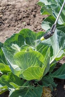 Spruzzatura di cavolo. proteggere il cavolo da malattie fungine o parassiti con lo spruzzatore a pressione in giardino