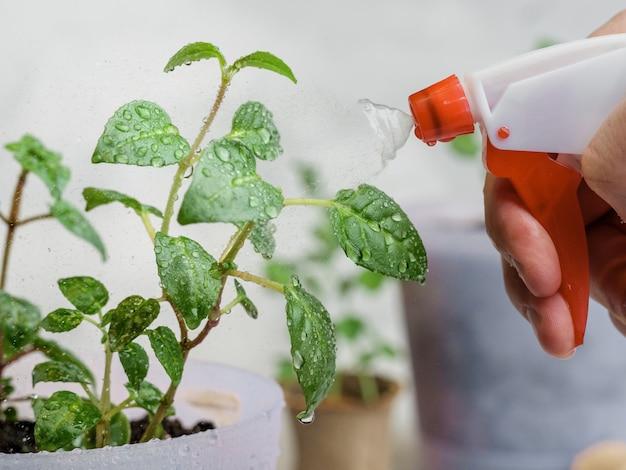 Spruzzare piante in vaso con acqua da un flacone spray rosso.