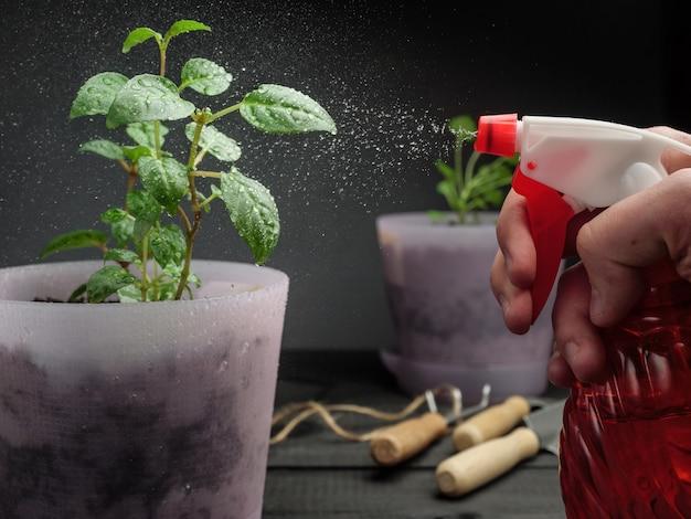 Spruzzare piante in vaso con acqua da un flacone spray