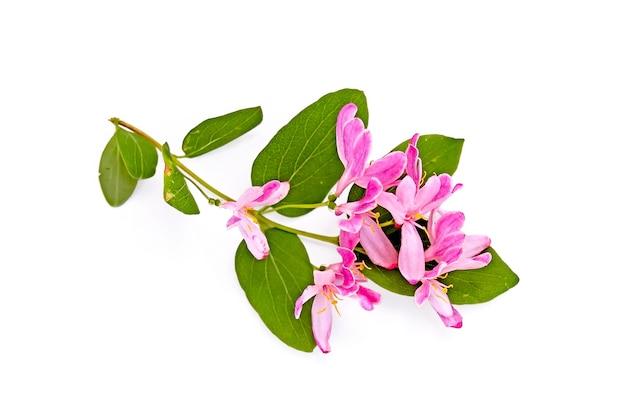 Rametto di caprifoglio con fiori rosa e foglie verdi isolati su sfondo bianco