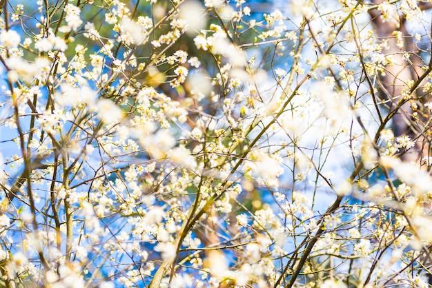Ciliegio con i fiori bianchi, cielo blu della mela della primavera