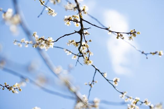 Ciliegio con i fiori bianchi, cielo blu della mela della primavera Foto Premium