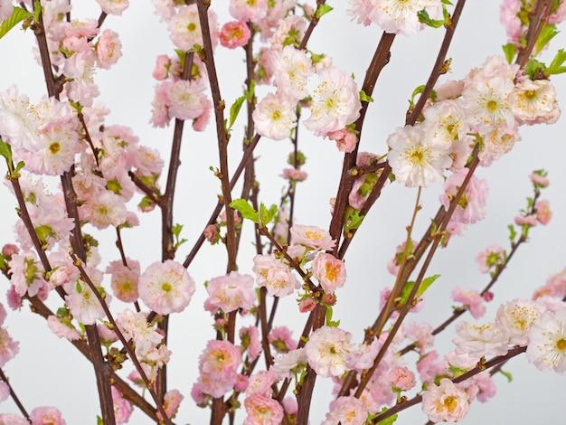 Sfondo di primavera. fiori di prunus rosa, fiori delicati su sfondo bianco. motivo floreale. concetto di pasqua