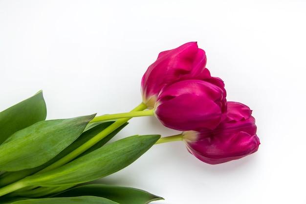Sfondo di primavera di tulipani rosa su bianco con spazio per il testo