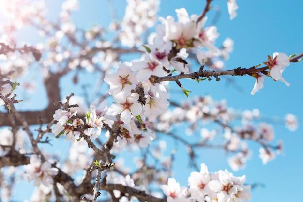 Sfondo di fiori di primavera. bella scena della natura con albero in fiore in giornata di sole. fiori di primavera. bellissimo frutteto in primavera. sfondo astratto.