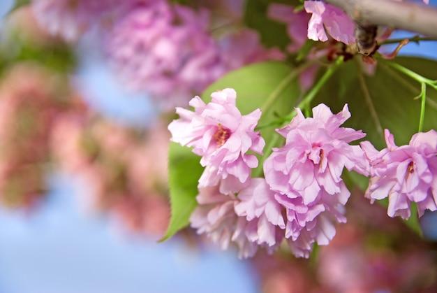 Fiore primaverile di sakura viola contro il cielo blu