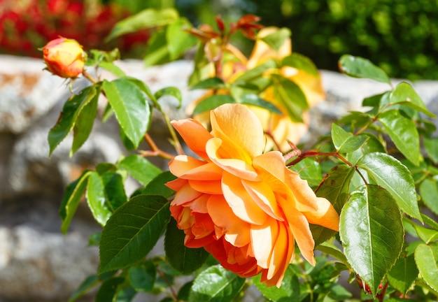 Cespuglio sbocciante della primavera del primo piano dei fiori della rosa gialla