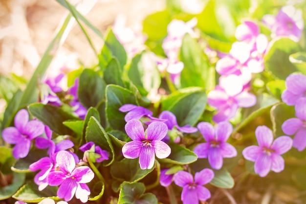 La primavera sboccia i primi fiori piccoli fiori viola fiori eterni
