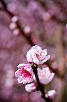 Fiori primaverili, fiori rosa pesca.