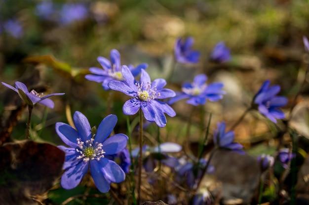 Fiori blu primaverili nella foresta macro soft focus concetto di primavera