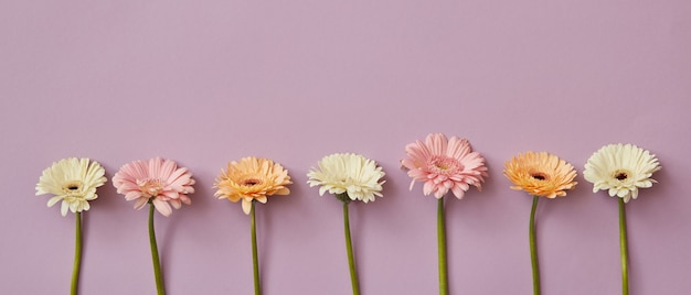 Composizione primaverile di gerbere fresche e profumate su uno sfondo di carta rosa. come concept per una cartolina l'8 marzo o come intestazione per il sito. disposizione piatta.