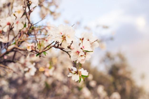 Concetto di primavera. fiori di mandorla