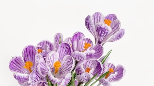 Primavera delicati fiori viola colorati, close up petali. sfondo naturale fiorito