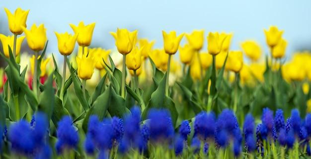 Campi primaverili di tulipani in fiore. scena all'aperto di bellezza. paesaggio della fattoria con fiori colorati