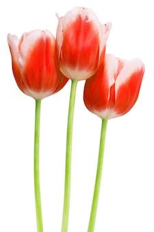 Mazzo di tulipani rosa fiore di primavera isolato su priorità bassa bianca.