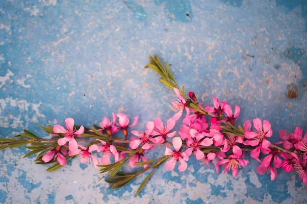 Rami fioriti primaverili, fiori rosa su sfondo blu