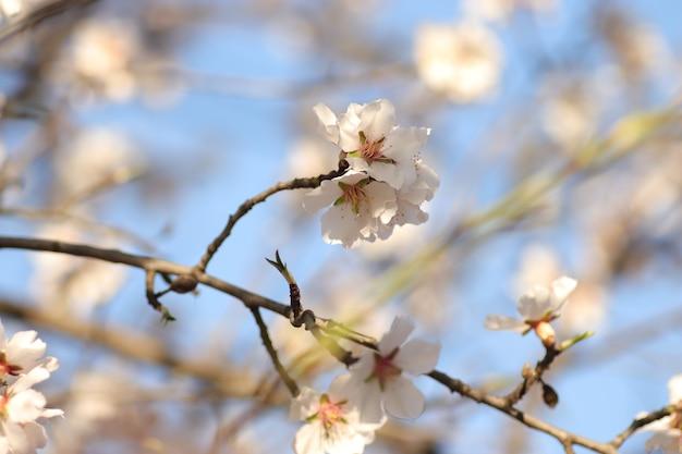 Fioritura primaverile di fiori su un albero fiori bianchi