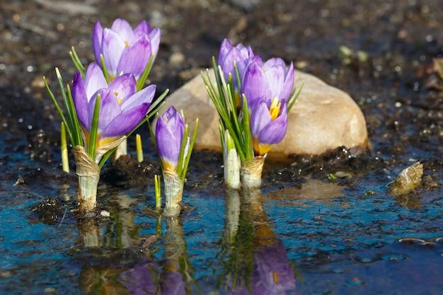 Fiori di primavera dopo lo scioglimento della neve. i boccioli di croco in fiore si riflettono nell'acqua durante il riscaldamento primaverile.